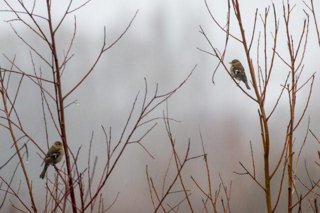 Wet chaffinches
