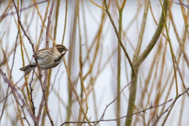 Reed bunting about to take flight