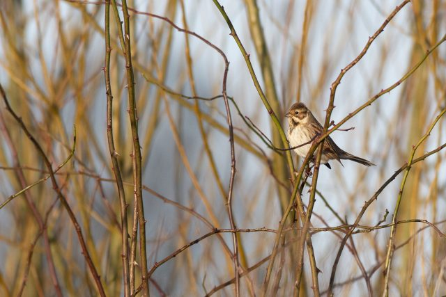 Reed bunting in the sun - Peaceful Sunday Morning Wanderings at the Floodplain Forest