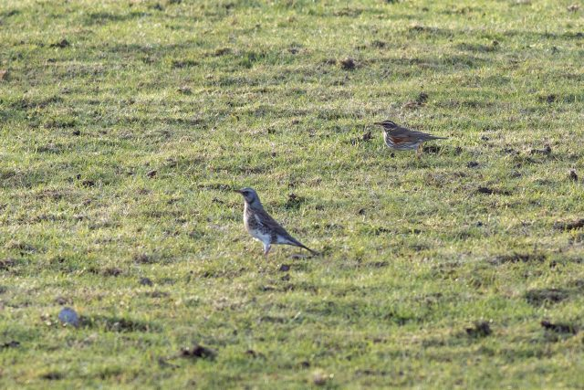 Redwing and Fieldfare peppering the grassy fields