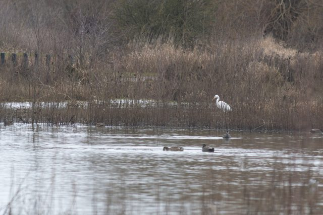 Second Great White Egret
