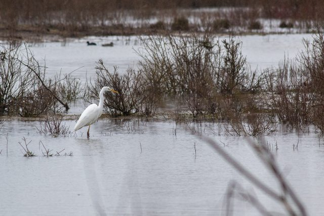 Another Great White Egret shot