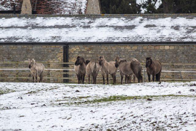 Konik Ponies in the last of the snow