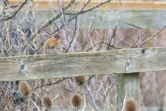 Stonechat on a fence