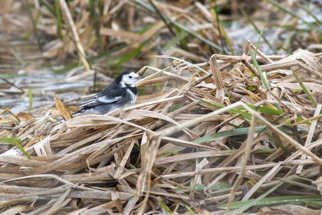 Pied Wagtail walking the back brook