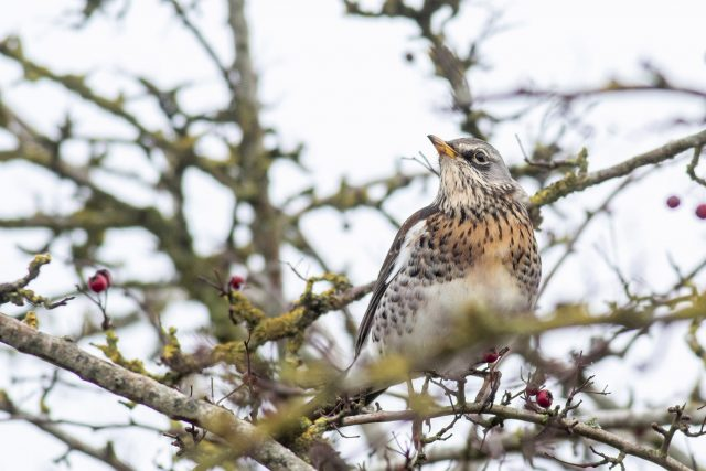 Fieldfare pushed in by the last of the snow