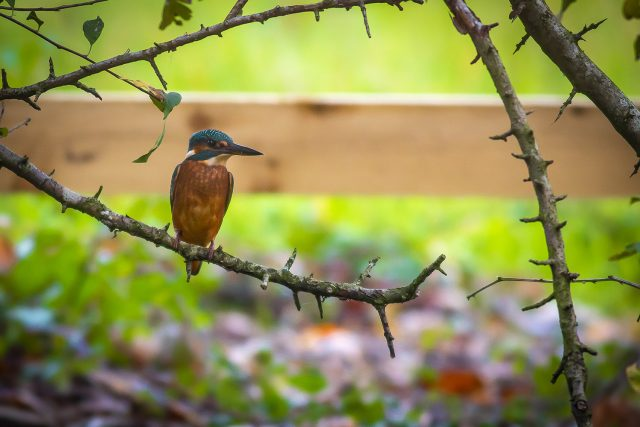 How to Photograph Kingfisher - Low light can work