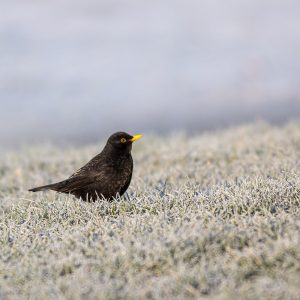 Frosts and Ice in the Ouse Valley - Blackbird in the frosts