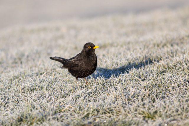 Blackbird in the Frost