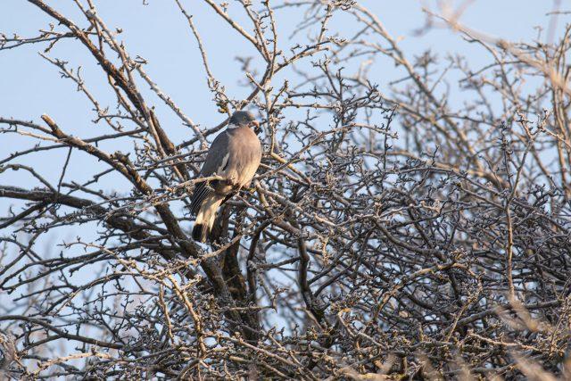 Woodpigeon in frosty trees