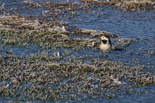Pied Wagtail in the frost