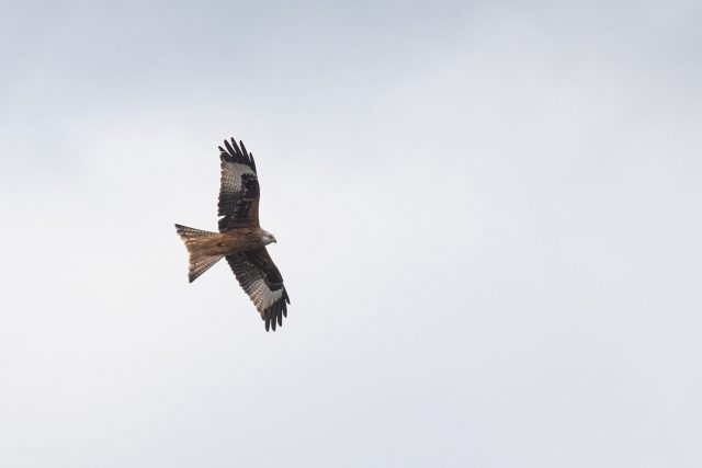 Red Kite in the white skies