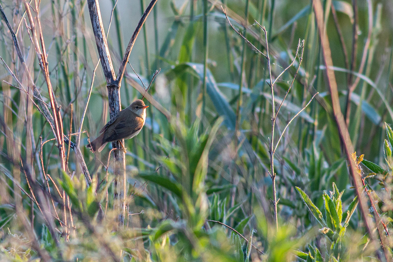 Marsh warbler in early sun