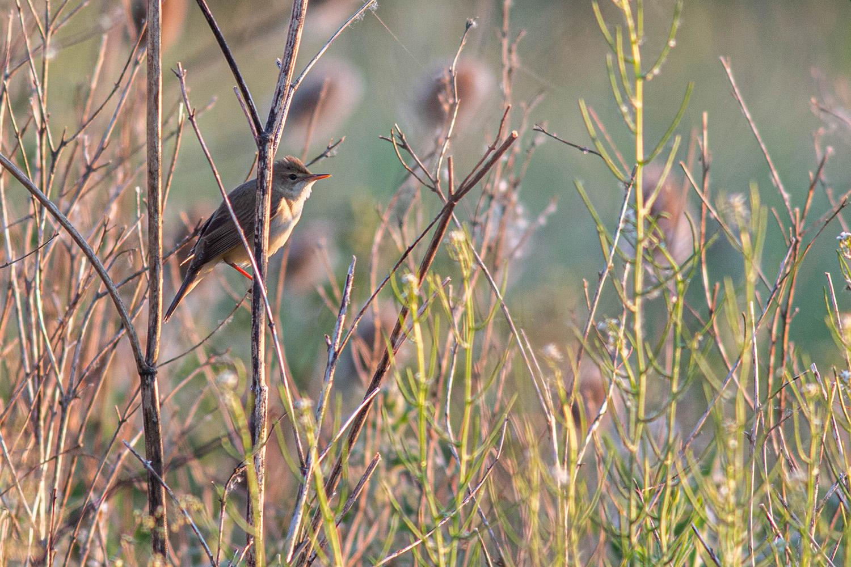 Male Marsh Warbler