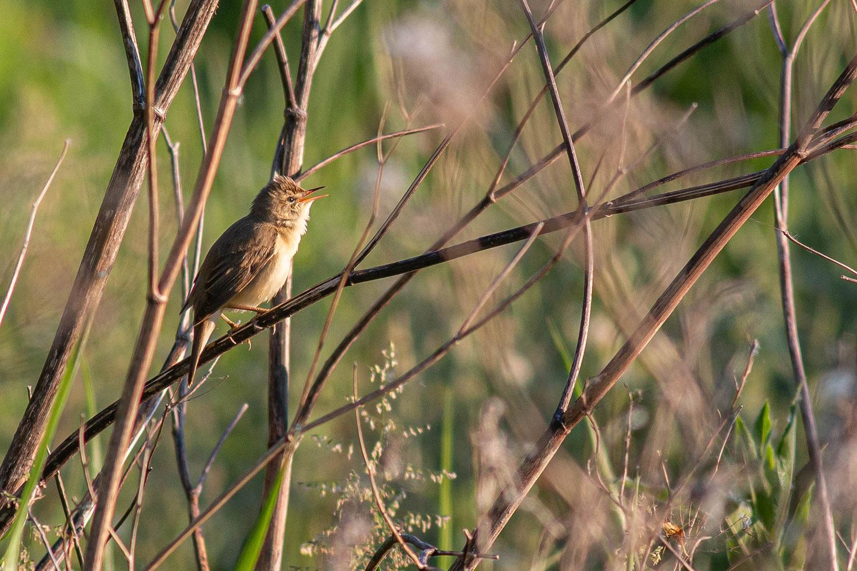 Marsh Warbler in Song