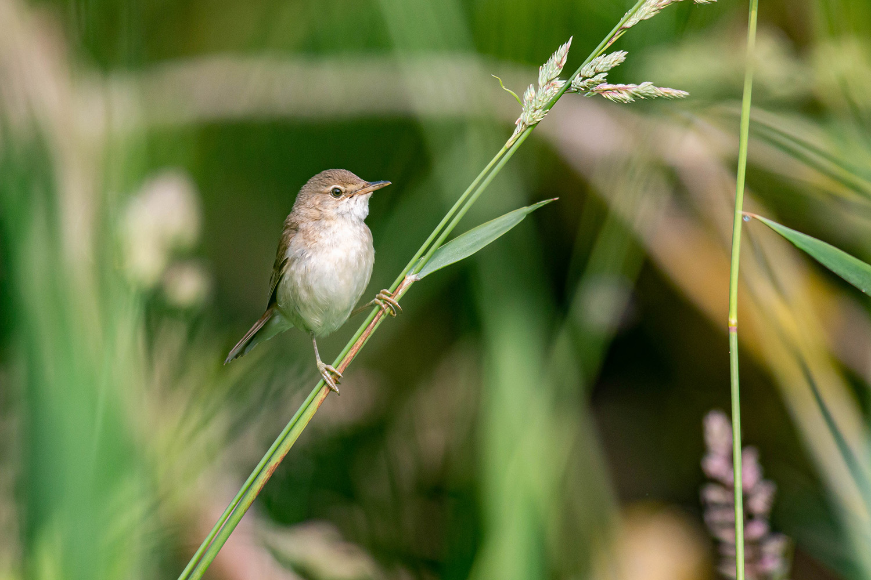Probable Reed Warbler