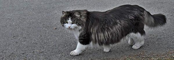 Semilånghår katt