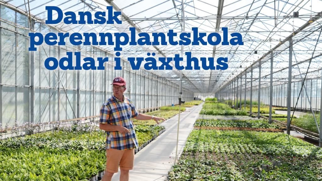 Dansk perennplantskola odlar i växthus