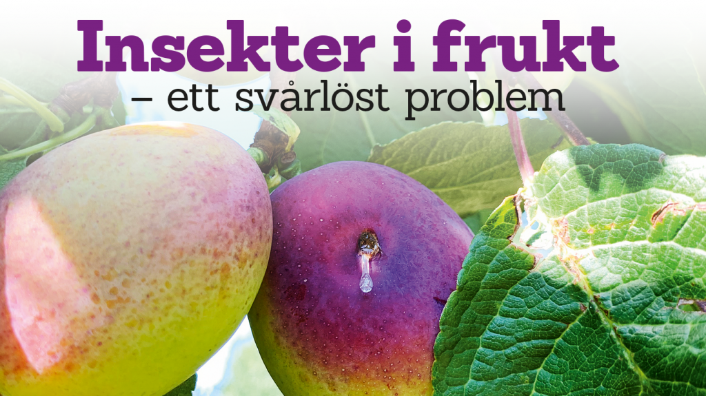 Insekter i frukt – ett svårlöst problem