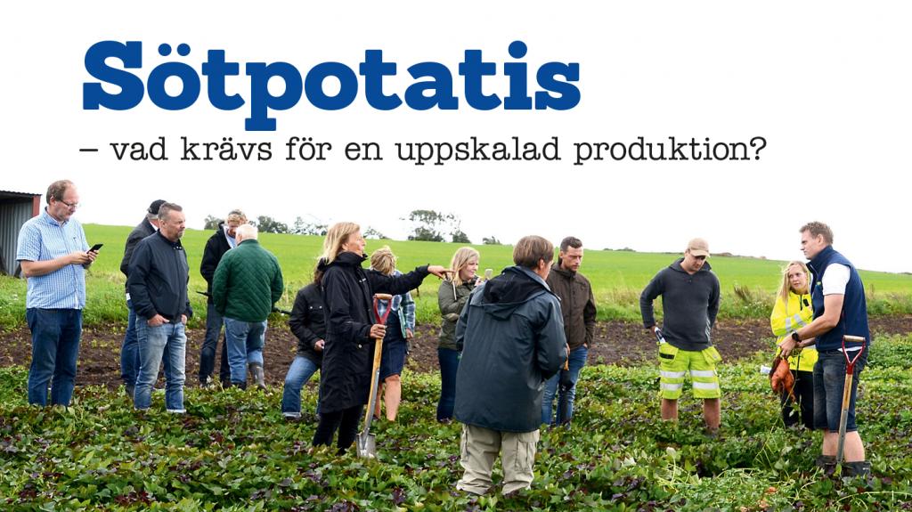Sötpotatis – vad krävs för en uppskalad produktion?