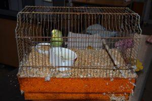 Adoptievogels