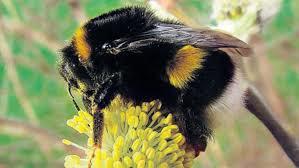 Zijn het bijen, hommels of wespen ?