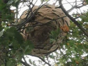 Brandweer verdelgt Aziatische hoornaar in Paal