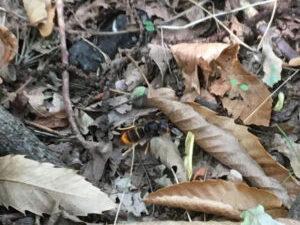 Aziatische hoornaar in Tessenderlo-Okselaar, 2 september ook in Paal
