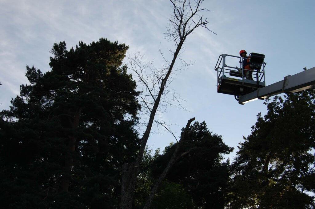 Trädfällning i Solna