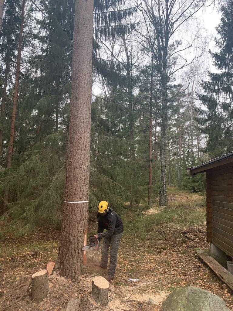 Pågående trädfällning i Stockholm