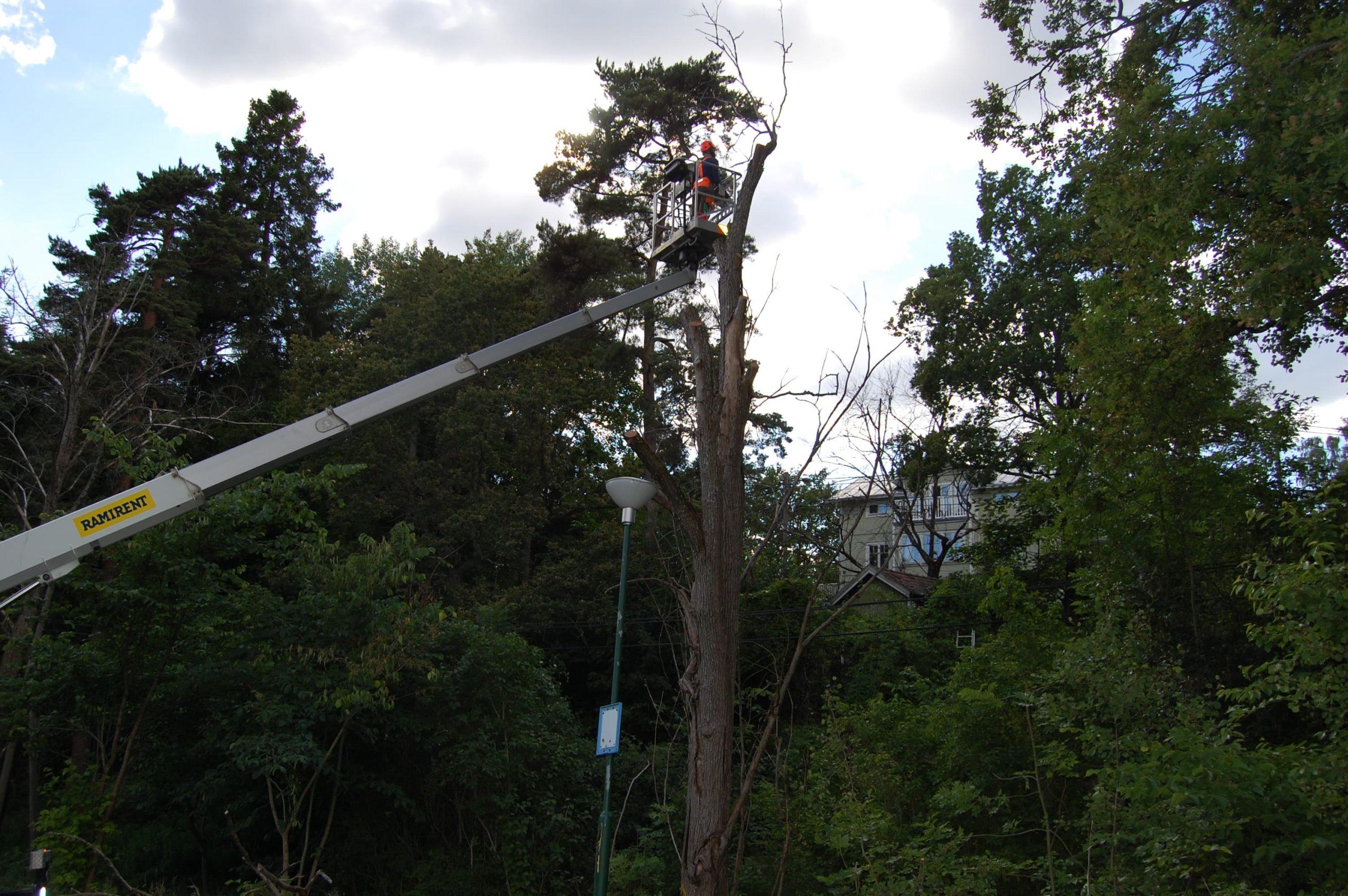 Trädfällning i Älta