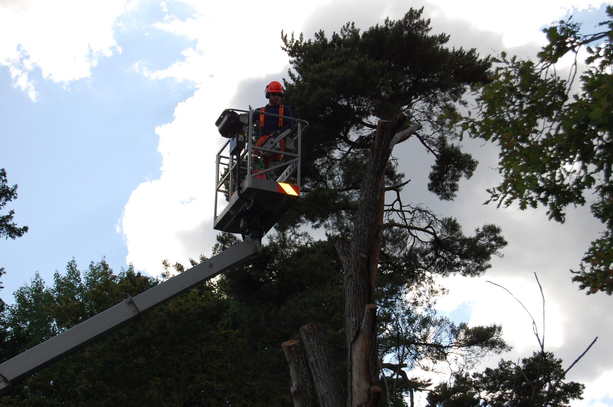 Trädfällning i Nykvarn