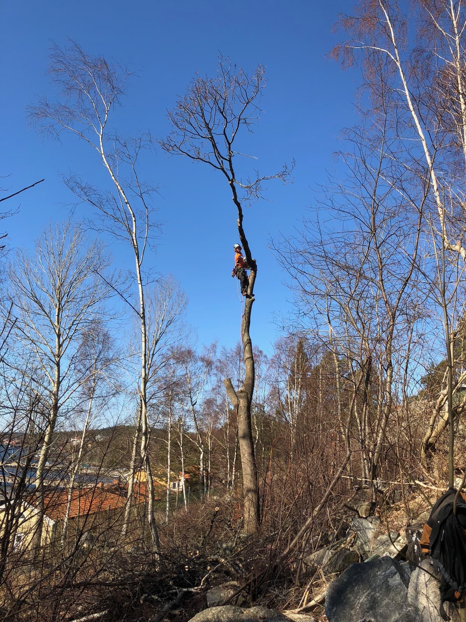 Trädfällning i Botkyrka