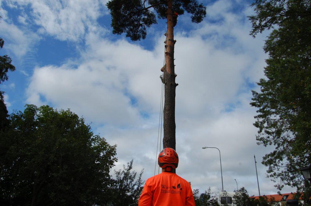 Trädfällning på Väddö