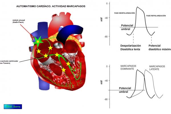 Automatismo de las células cardíacas