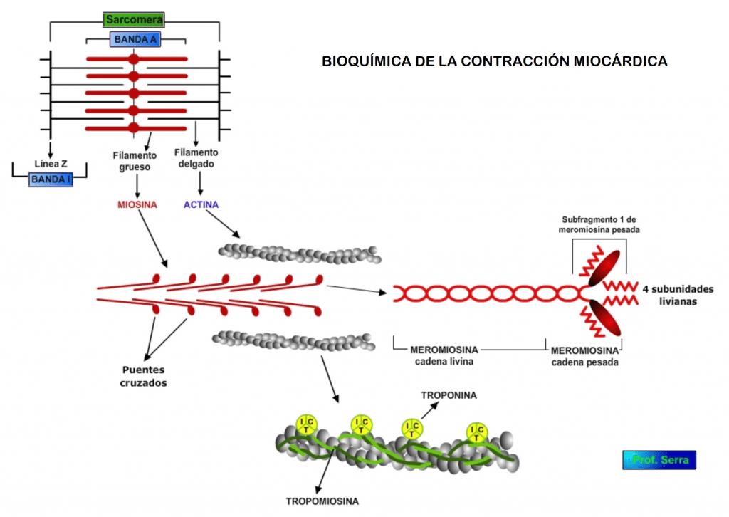 Bioquímica del proceso contráctil