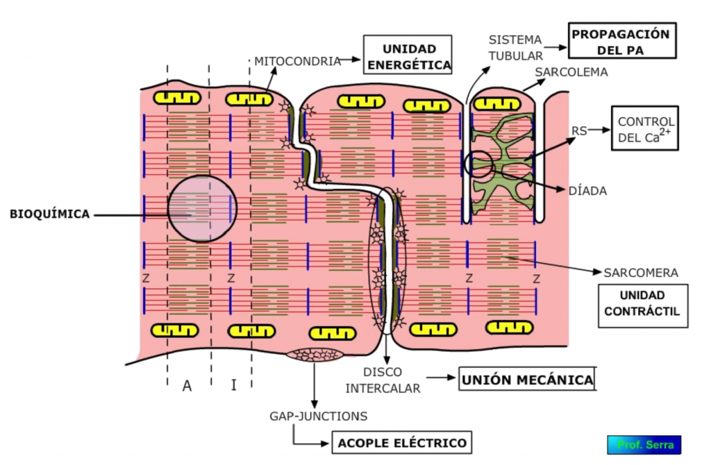 características contráctiles de la célula miocárdica