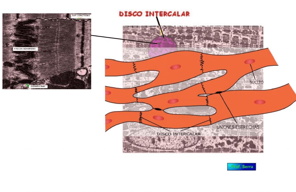 células miocárdicas