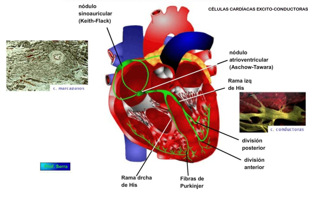 células cardíacas excito conductoras