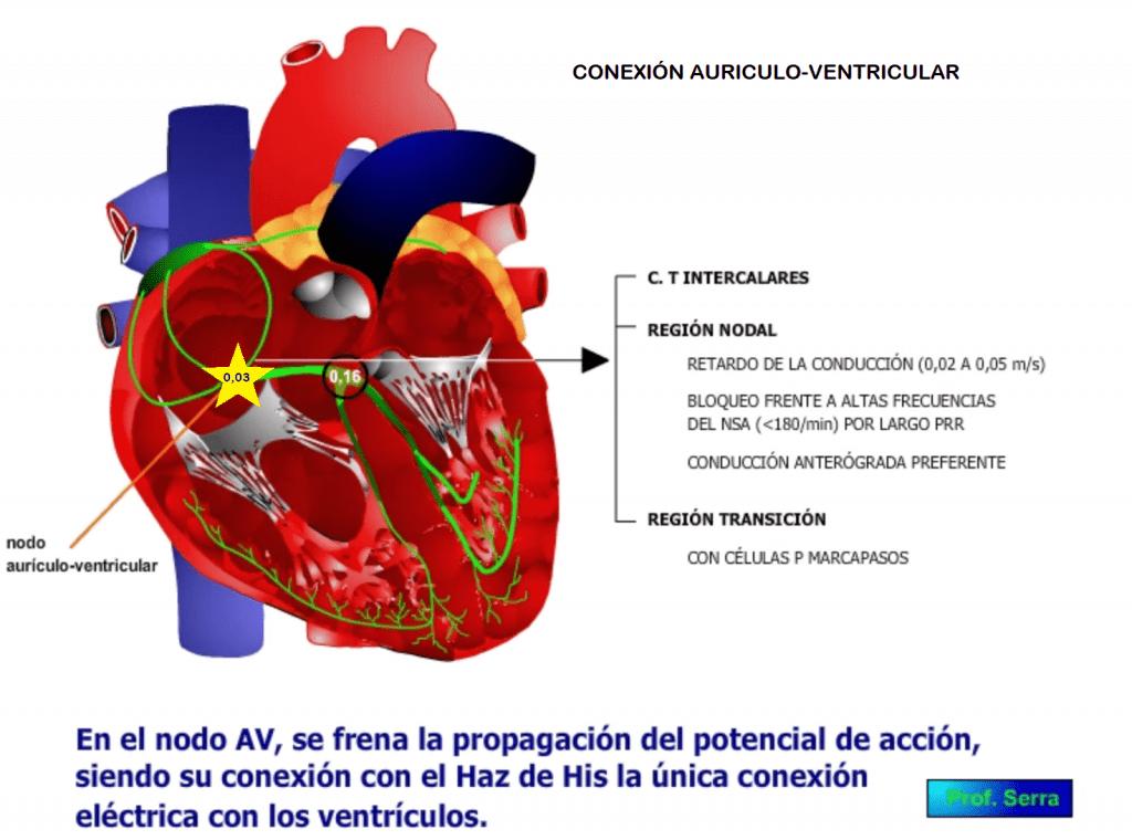 Conducción aurículo-ventricular