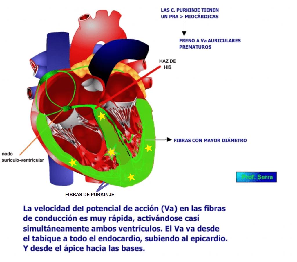 conducción ventricular