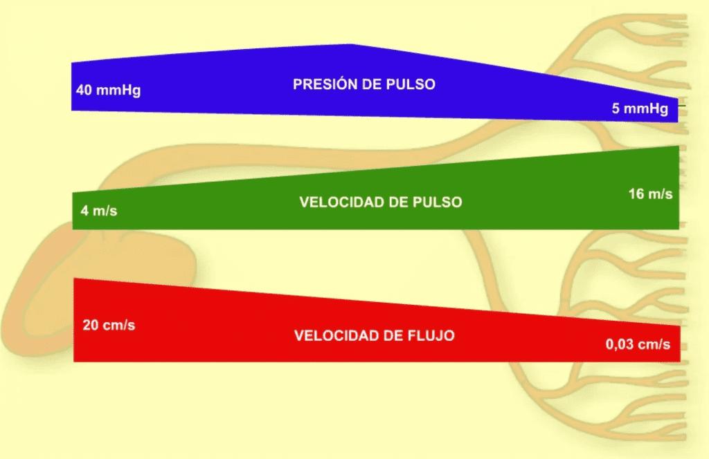 Dinámica de los parámetros físicos de la circulación arterial.