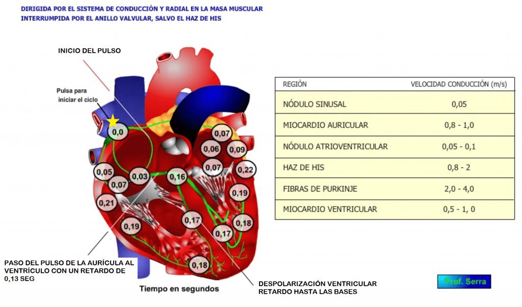 conductibilidad cardíaca