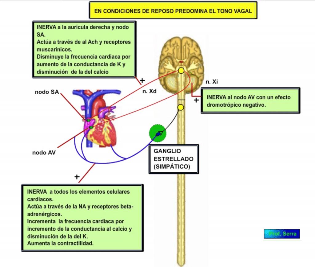 Inervación cardiáca