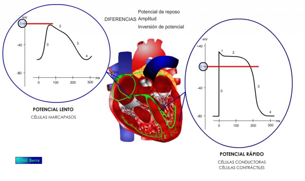inversión del potencial de acción en las células cardiácas