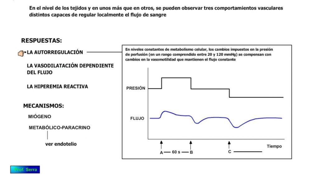Autorregulación vascular