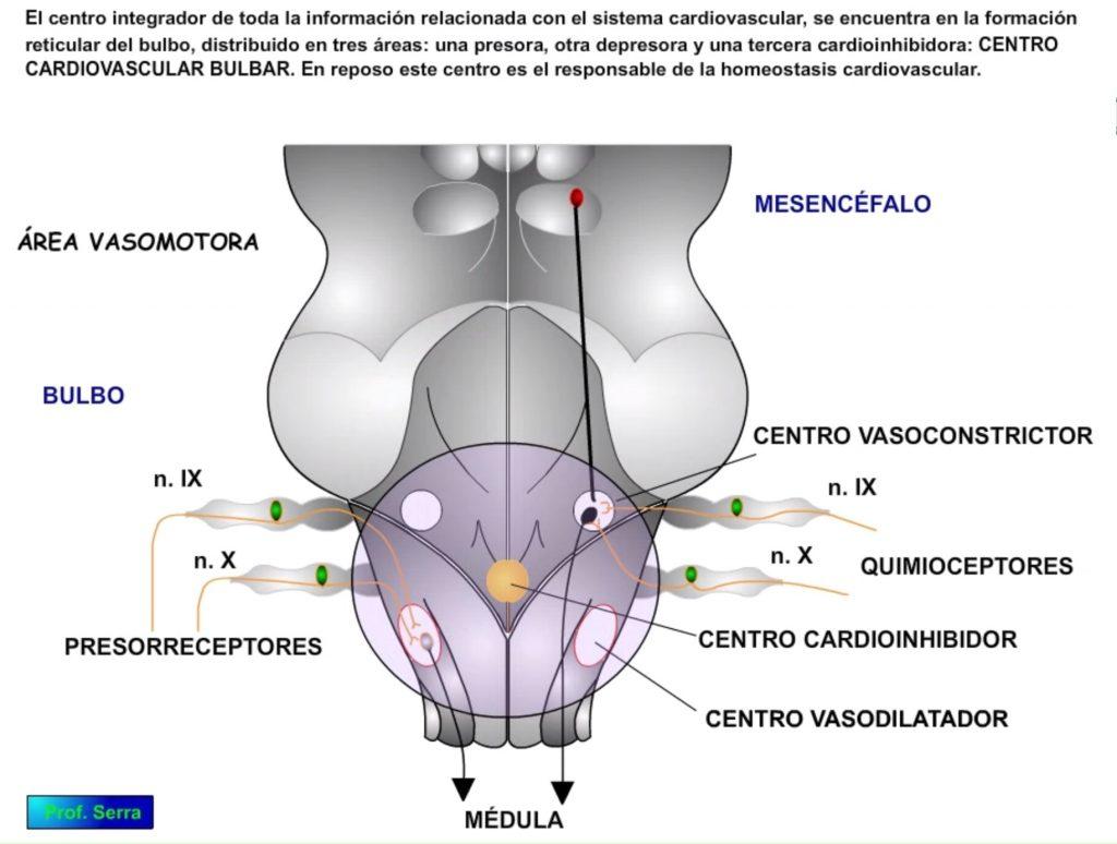Centro cardiovascular bulbar