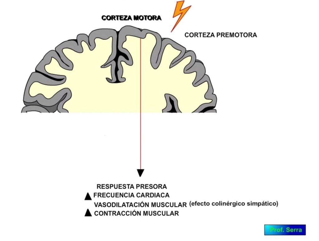 corteza cerebral cardiovascular