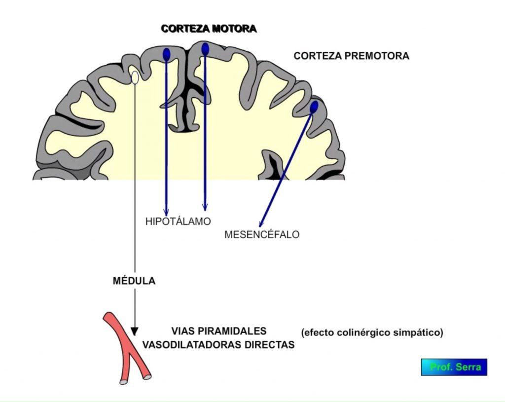 corteza cerebral efectos de su estimulacion
