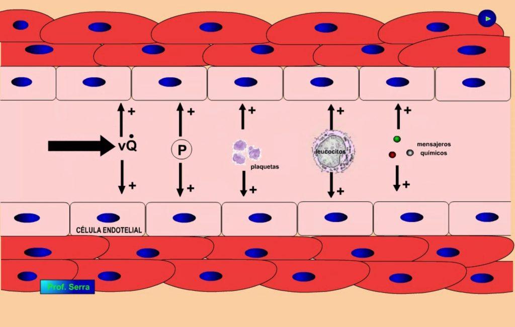 endotelio vascular 1